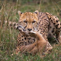 Cheetah Finishing off Prey