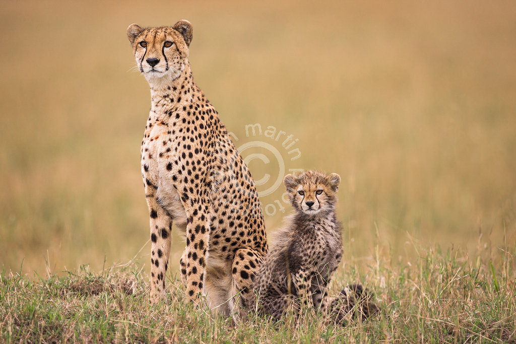 Alert Cheetah and Cub