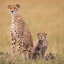Alert Cheetah and Cub