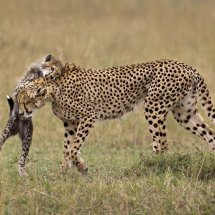Cheetah and Playful Cub for Home Page