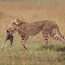 Cheetah and Playful Cub