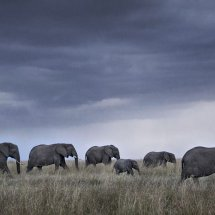 Elephant Herd at Dusk for Home Page