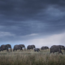 Elephant Herd at Dusk