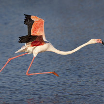 Flamingo Taking Off