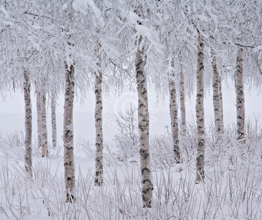 Forest Finnish Lapland