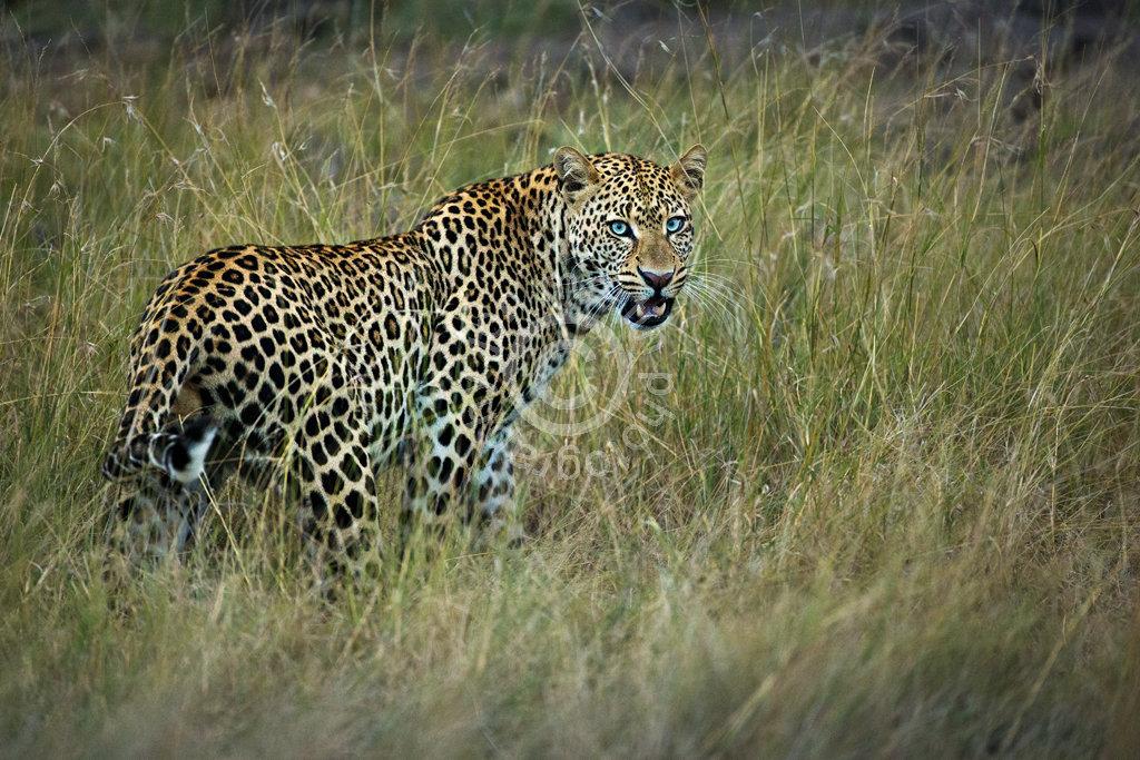 Glaring Leopard