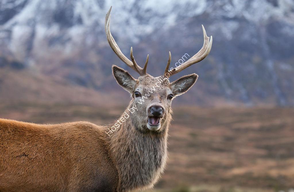 Deer at Glencoe
