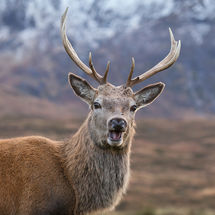 Deer at Glencoe