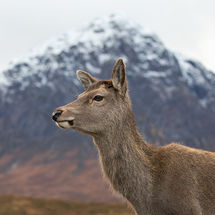 Deer in Front of Buachaille Etive Mor