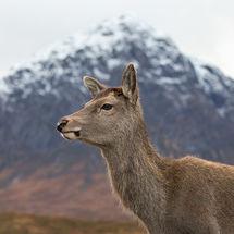 Deer in Front of Buachaille Etive Mor