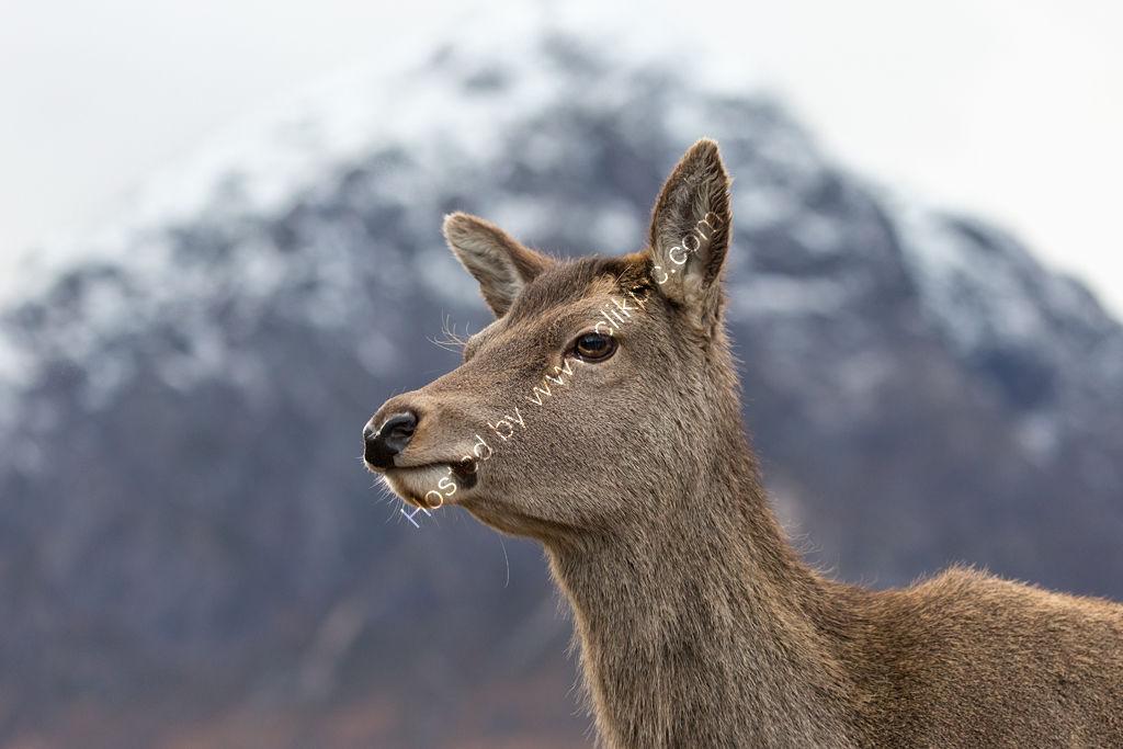 Deer and Buachaille Etive Mor