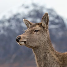 Deer and Buachaille Etive Mor