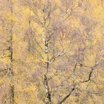 Yellow Tree, Holme Fell