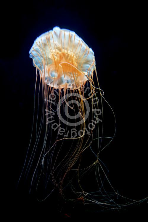 Jellyfish at Chicago Aquarium