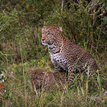Leopards Mating 2
