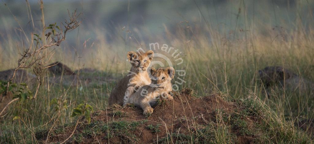 Lion Cubs at Leopard Gorge