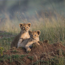 Lion Cubs at Leopard Gorge