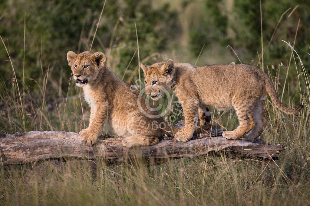 Lion Cubs on Log