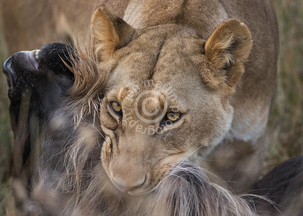Lion and Wildebeest Prey