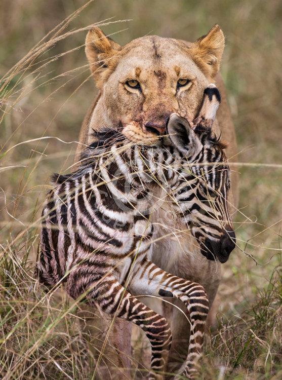 Lion and Zebra Prey