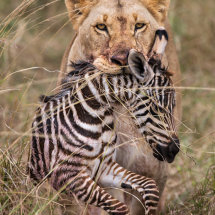 Lion and Zebra Prey