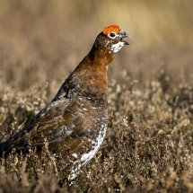 Male Red Grouse Calling