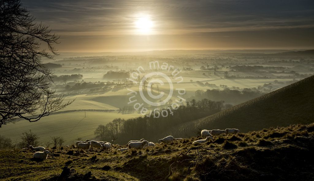 Sheep on Martinsell Hill