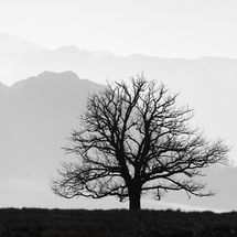 Lone Tree, Ullswater