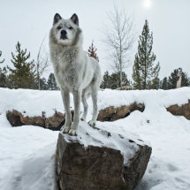 Wolf Centre 2