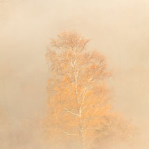Golden Tree at Yew Crag 3