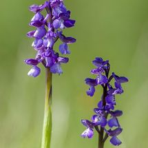 Green Winged Orchid {Orchis morio)