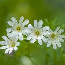 Greater Stitchwort {Stellaria holostea}