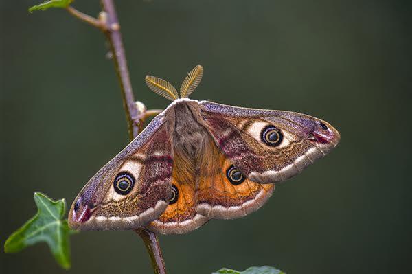 Emperor Moth (Male)