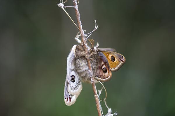 Emperor Moths mating
