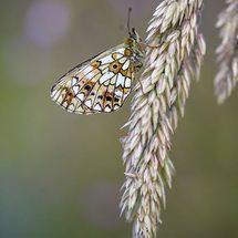Small Pearl- Bordered Fritilary Butterfly