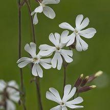 White Campion {Silene latifolia}