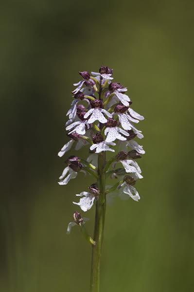 Lady Orchid {Orchis purpurea}