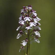 Lady Orchid {Orchis purpurea}