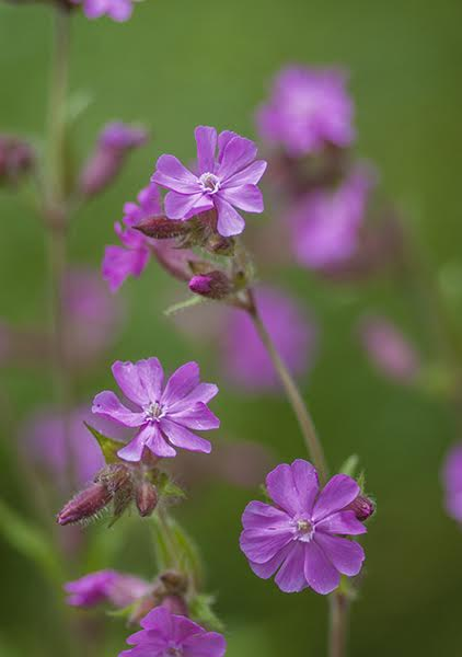 Pink Campion {Silene dioica}