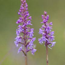 Fragrant Orchid {Gymnadenia conopsea}