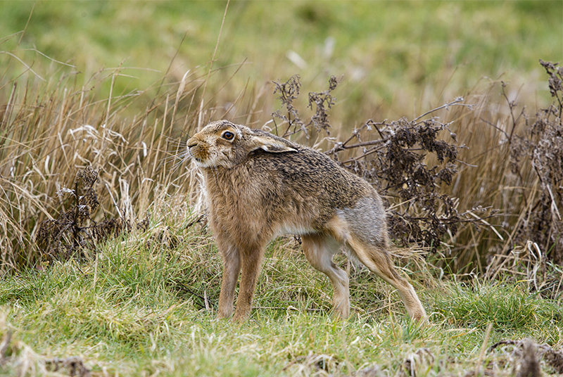 Brown Hares stretching