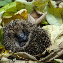 Hedgehog in autumn leaves