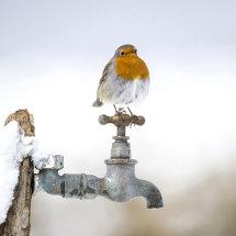 Robin on garden tap