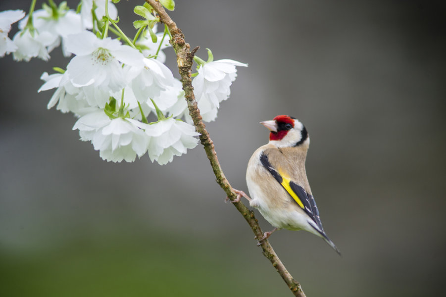 Spring Goldfinch