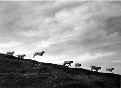 """Lambscape"" - 1937"