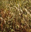 Opium Poppy Heads.