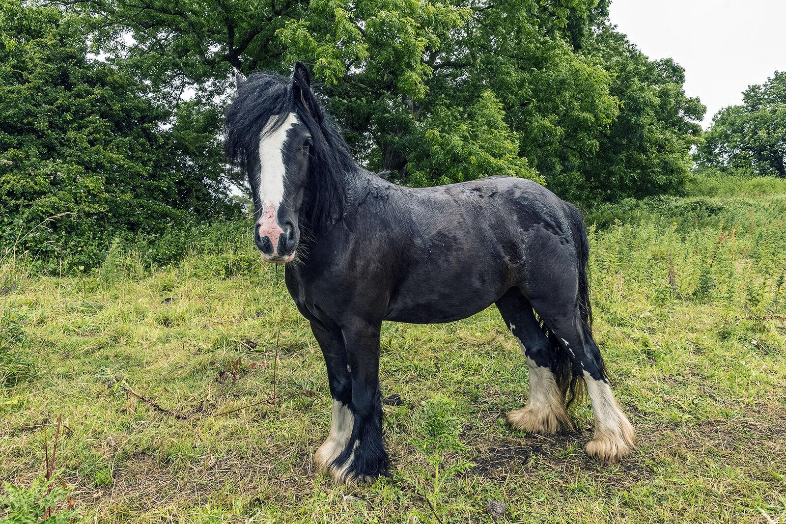 Gypsy Horse, Galway, Ireland 2019