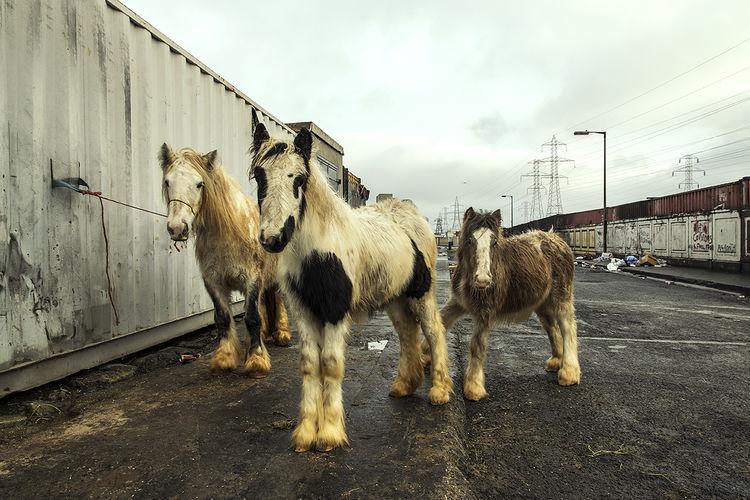 Piebald Horses, halting site, Dublin, Ireland 2018