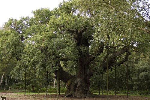 Major Oak, Sherwood Forest