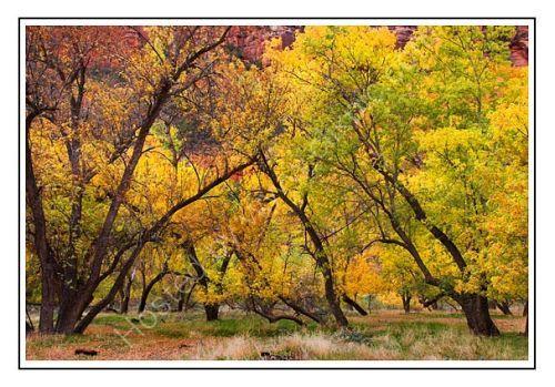 Cottonwoods- Zion